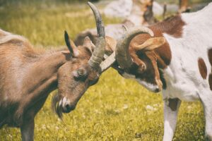 Goats fighting: Image by Alexas_Fotos from Pixabay