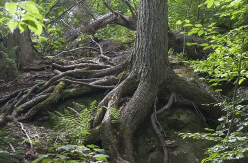 Forest tree roots Image by Allan Joyner from Pixabay